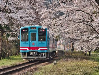 樽見鉄道は、大垣駅~樽見駅までを結ぶ鉄道で、普段は地元住民の足として重要な役割を担っています。 樽見駅近くには、樹齢1500年の「薄墨桜(淡墨桜)」、谷汲口駅からバスで十数分いったところには「谷汲山華厳寺」という東海地方でも有数の桜の名所が存在していて、春の桜の時期には「桜ダイヤ」と称した特別ダイヤで運行しています。 特に、谷汲口駅は駅自体が桜に囲まれているので、桜と電車を合わせた美しい風景を堪能することが出来ます。 また、この樽見鉄道は、山菜を食べながら楽しめる「薬草列車」としても人気で、初夏から秋にかけては、フキやヨモギの天ぷら、菜めしなど、山の幸をふんだんに使った「薬草弁当」が楽しむことが出来ます。 車窓に広がる根尾川や新緑、四季折々の美しい景色を楽しみながら、ゆったり&のんびりとした時間を過ごしてみてはいかがでしょう!