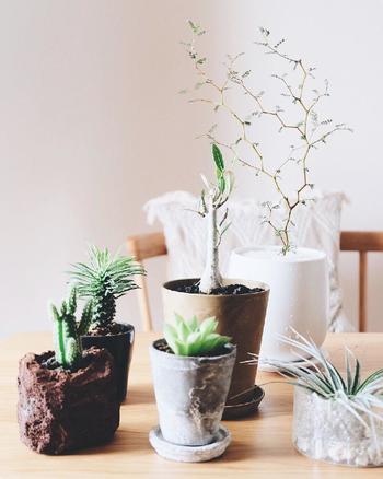 テーブルの上にお気に入りの植物を並べると、お茶や食事も一層おいしくなります。メルヘンの木は高さがあるので、小さめの鉢や小ぶりな植物と合わせると立体感があるコーディネートが楽しめます。いつもは窓際やベランダに置いているという方も、来客時などにテーブルに飾ってみると、お花を飾らなくても華やかに演出できますよ。