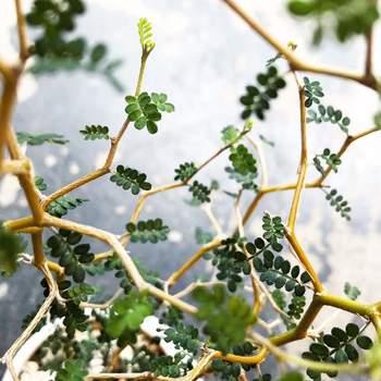 ニュージーランド原産のソフォラは、マメ科の植物。ジグザグに伸びた細くて華奢な枝や、小さくて丸い葉が連なる姿が可愛らしく、どこか不思議な雰囲気からメルヘンの木とも呼ばれています。
