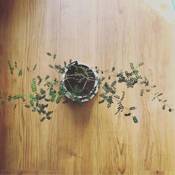 メルヘンの木(ソフォラ)の育て方。インテリアに馴染む可愛い飾り方も♪
