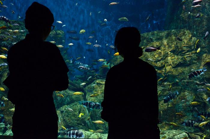 """館内の水槽な中には様々な魚が泳ぎ、中には南米アマゾンの巨大魚""""ピラルクーや可愛らしいアシカのショーなど見どころもたっぷり!毎月展示が変わるマンスリー水槽などもあり、子どもから大人まで、雨の日でも楽しむことが出来るスポットです。"""