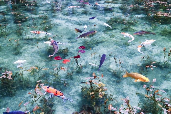 皆さんは、口コミで広がった話題の池「モネの池」をご存知でしょうか!岐阜県関市板取にある「モネの池」は、透明度の高い湧水に美しく睡蓮が咲く様子が、まるで絵画の「モネの池」のよう…ということで、そう呼ばれるようになったんだとか。 池には錦鯉が泳いでいて、まさに日本版「モネの池」といった感じ。初夏の睡蓮の花が咲く時期は、とにかく絶景なので、その美しい光景を見に、是非、訪れてみてはいかがでしょう!