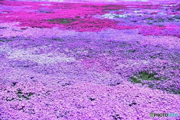 その光景は、まるで一面にじゅうたんを敷き詰めたかのような美しさで、訪れる人々を魅了します。花の側へ近づくと、優しく甘い香りが漂い、心を癒してくれることでしょう…。今では、お花畑の開花時期には大勢の観光客が訪れる程の名所となり、平成4年には「農林水産大臣賞」、平成8年には「内閣総理大臣賞」を受賞しました。