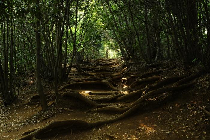 古くから修験道の霊山として崇められてきた高尾山は東京都心にほど近い東京都八王子市に位置する山です。標高わずか599.3メートルの高尾山には、ブナ、杉、フクジュソウ、スミレなどをはじめ多くの植物が自生しています。そのため、この山は森林浴スポットとしても人気があります。