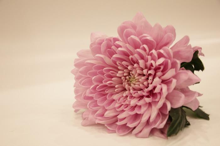 真夏でも抜群の花もちの良さを誇るのが、菊です。上手に管理すれば、2週間以上咲くことも。お供え花のイメージが強い菊ですが、最近はダリアのように見える洋風の華やかな品種や清楚でナチュラルな小菊類、パステルカラーから日本らしい落ち着いた色まで、バラエティ豊かに進化しています。
