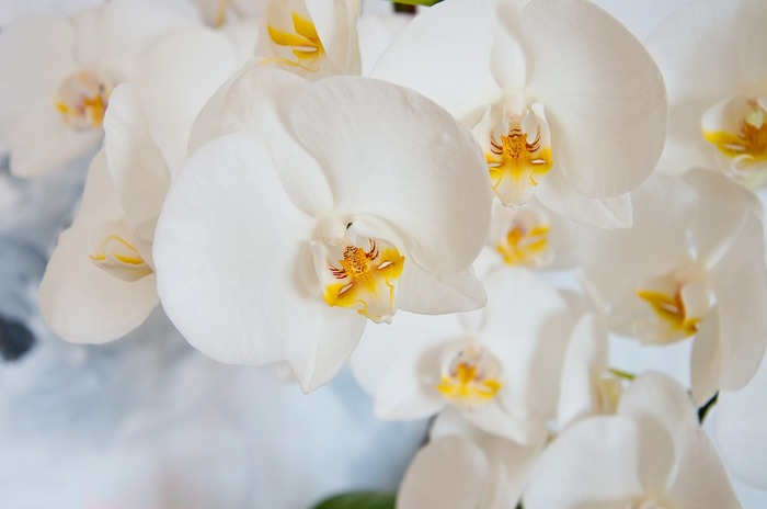 蝶々が羽を広げたような姿が美しい、胡蝶蘭。熱帯雨林に咲く花で、1ヶ月ほど花もちするので夏におすすめの花です。湿度が多い場所を好むので、エアコンの風が当たらない場所に飾りましょう。長く咲くうちに下の花から傷んでくるので、少しずつ下の花を摘んで整えていくとさらに長持ちします。摘んだ花は、水に浮かべて飾って楽しむと良いそうですよ。