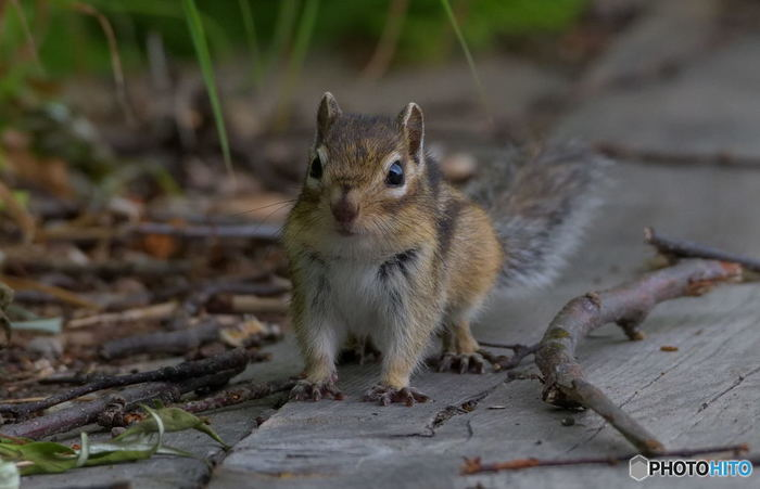 黒岳にはシマリスなどの野生動物がたくさん生息しています。運がよければ、可愛らしいシマリスに出逢うことができるかもしれませんね。