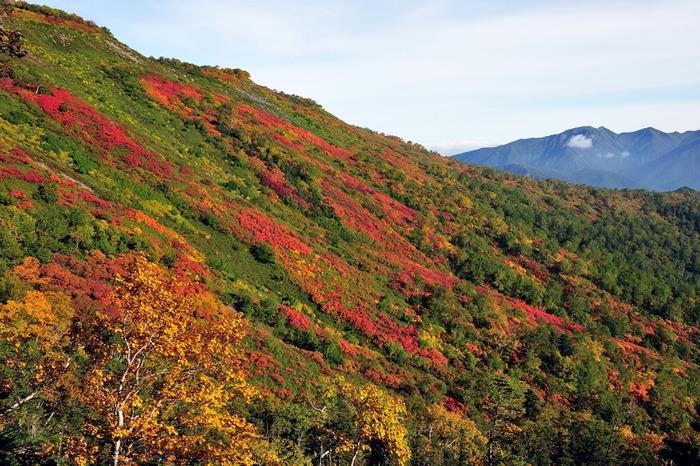 層雲峡温泉街から大雪湖・大雪山観光道路を経由して車で約50分程度の場所に位置する銀泉台は、大雪山系の一つである赤岳の登山口です。針葉樹の緑、広葉樹の黄色、落葉樹の赤といった樹々が幾重にも折り重なる銀泉台は、山そのものが錦を纏ったかのような美しさです。