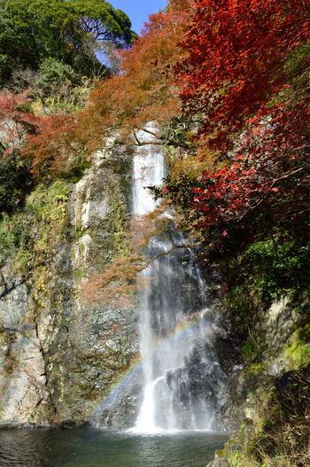 箕面公園のハイライトとも言える箕面大滝は、日本の滝百選にも選定されている壮麗な滝です。箕面大滝へは、阪急箕面駅からよく整備された緩やかな山道を約2.8キロメートル歩くと辿り着きます。なだらかな坂道であるためハイキング初心者でも快適に歩くことができます。