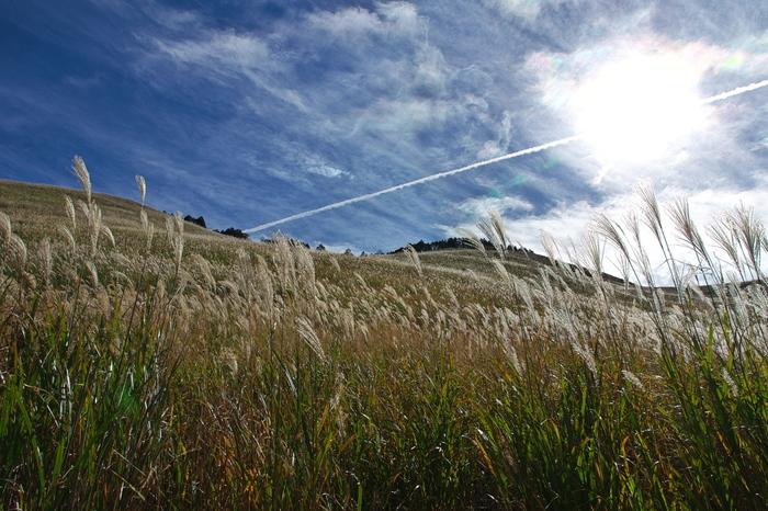 心地よい秋の陽射しを浴びて銀色に輝くススキの穂の美しさは傑出しています。風が吹くたびにゆらゆらと揺らめくススキの群生地となっている曽爾高原は、はまるで銀色の絨毯を敷き詰めたかのようです。