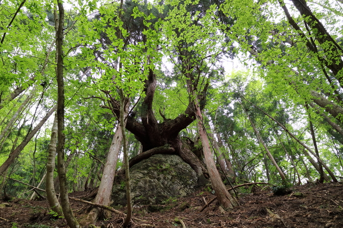 高くそびえる樹々の間から差し込む木漏れ日、天然のブナ林、樹齢数百年の巨木、苔むした巨大な岩を覆う太い根が融合してつくりだす光景は、神秘的で深山幽谷としています。芦生の森を歩いていると、まるで神々の領域に迷い込んだような錯覚を感じます。