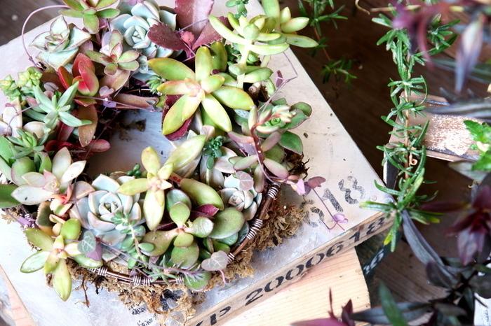 多肉植物を寄せ植えしてリース風に。中央に穴が開いたザルやカゴなどを使えば、リース風の寄せ植えを作れます。多肉植物をこんもりと植えたらぐんと可愛く仕上がります。水を混ぜて練ることで固まる「ネルソル」を使えば、壁に飾ることもできますよ!