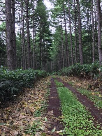 3000ヘクタールに及び広大な敷地を誇る五色ヶ原には豊かな自然が残されています。高原の心地よい空気を肌で感じながら、鬱蒼とした森を歩く気持ち良さは格別です。
