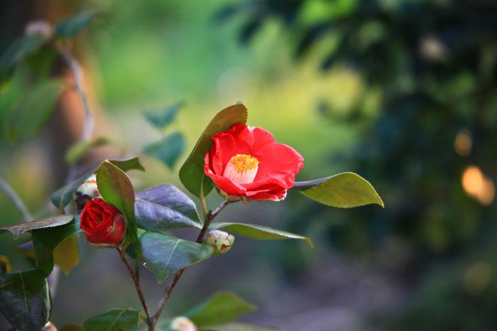 江戸時代から愛されてきた椿は、凛とした表情が美しい冬を代表するお花です。椿全般の花言葉は「控えめな素晴らしさ」「気取らない優美さ」。また、赤い椿は「謙虚な美徳」、白は「完全なる美しさ」、ピンクは「控えめな愛」などの花言葉を持っています。椿の花はぽろりと落ちてしまうため、贈り物ならプリザーブドフラワーなどを選ぶと安心です。