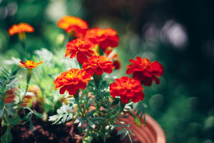 明るいオレンジ色の花が元気いっぱいの印象を受けるマリーゴールドは、英語名では「聖母マリアの黄金の花」という意味を持っています。花言葉は「悲しみ」「変わらぬ愛」「真心」「絶望」「嫉妬」といった少し悲しい恋を連想させる言葉が多いので、ギフトにする際にはメインの花にしないよう、気を付けるとよいでしょう。