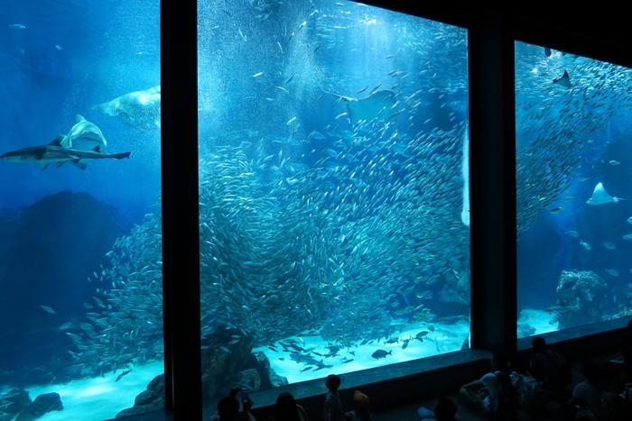 水深7mもあるパノラマ大水槽「九州の外洋」は、九州南部の黒潮が流れる海をイメージし、光や気泡などで魚の生息環境を再現。水槽の上層・中層・低層で魚のリアルな様子を観察することができます。マイワシにダイバーが餌やりをする「イワシタイフーン」は必見!イワシの大群がくるくると囲むように泳ぐ姿は圧巻です。
