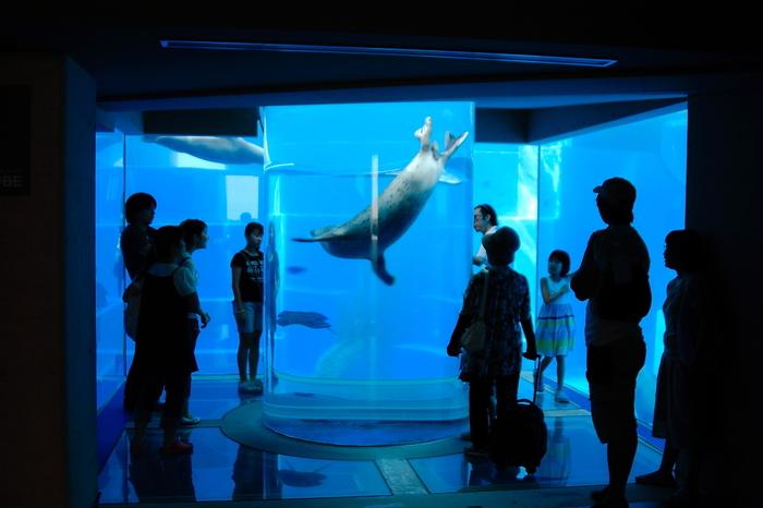 円柱トンネルの「うみなかCUBE」では、アザラシやアシカがやってきます。トンネルを優雅に泳ぐ姿が見られたらラッキー!