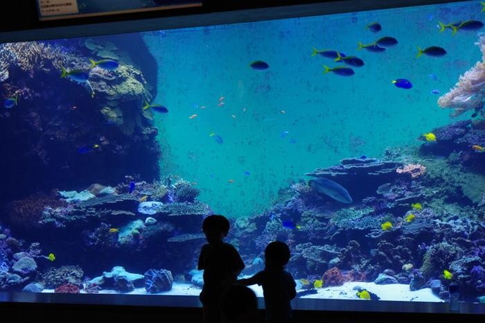 ここのメインでもある大回遊水槽には、約90種1,500匹の魚が生息しています。土日祝にはダイバーの餌やりやおさかな解説がありますよ!