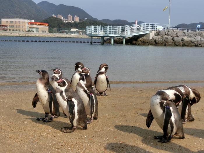 「ふれあいペンギンビーチ」では、ペンギンたちが外に出て自由気ままに過ごしています。海で泳いだり、砂浜を歩いたり…普段なかなか見られない自然な姿を楽しみましょう。