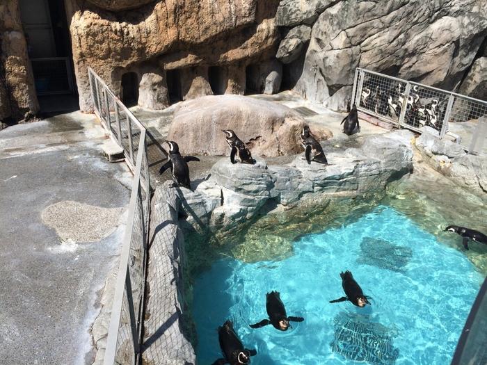 外ゾーンにもプールがあり、4種類のペンギンたちが暮らしています。岩からプールに飛び込んで泳ぎ回ったり、岩でのんびりと過ごしたり…その自由な姿に癒されます。