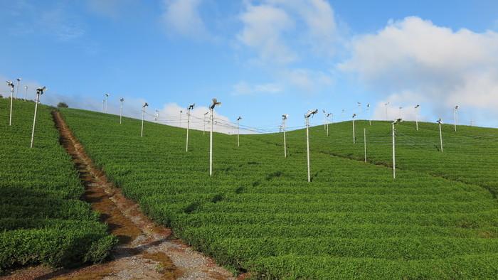 焼き物とたぬきの町としてのイメージが強い信楽町は、お茶の名産地でもあります。小高く盛り上がった丘一面に広がる茶畑では、1200年の歴史を持つ朝宮茶の生産が行われています。