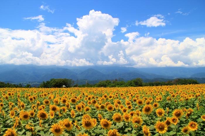 山梨県北杜市にある明野地区ひまわり畑。映画『いま、会いにゆきます』のロケ地としても有名です。北杜市の日照時間は日本一で、約60万本のひまわりが力強く咲き誇ります。7月中旬から約一ヶ月間、「北杜市明野サンフラワーフェス」が開催されるので、ぜひその期間に足を運んでみてくださいね。