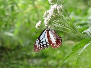 夏の森では、海を渡って旅をする蝶・アサギマダラを見かけることも♪