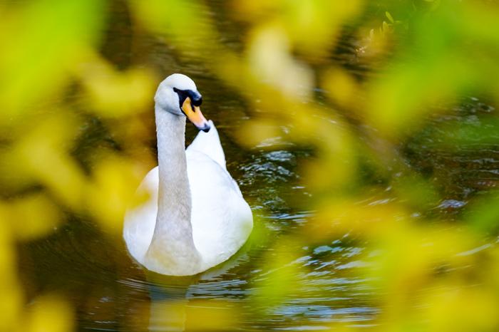 倉敷川では、白鳥の姿を見かけることができます。気品ある凛とした白鳥は、倉敷川が持つ優美な雰囲気を引き立てています。