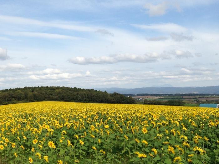 北海道千歳市にあるパレットの丘。新千歳空港から車で30分ほどの場所にあります。こちらのひまわりは緑肥用として植えられていて、見頃は9月下旬~10月中旬頃とのこと。名前の通り、パレットの上のような鮮やかなひまわりの色を楽しむことができます。