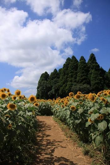 成田ゆめ牧場のひまわり畑では、時期をずらして開花するひまわりを計7つの会場で楽しむことができます。7つの会場を合わせた総数はおよそ11万本!ひまわり迷路も開催されていて、子どもも大人も楽しめる牧場です。