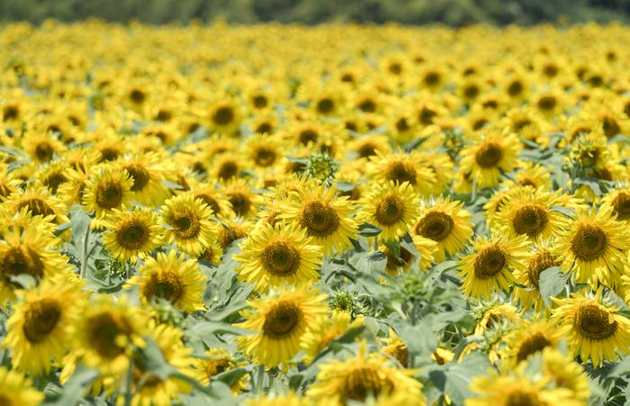 日本最大級のひまわり畑である観光農園花ひろば。6月中旬から11月末まで常時14万本のひまわりを長期間鑑賞することがきます。さらに、一人5本までひまわりを摘んで持ち帰ることができるそう!なんとも嬉しいお土産です。