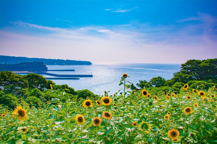 大分県国東半島の先端に位置する長崎鼻。夏には140万本のひまわりが咲きます。見頃は8月から9月で、海と共に眺められるひまわりは圧巻です!長崎鼻では、四季折々の花はもちろん、様々なアート作品が展示されていて見所満載です。