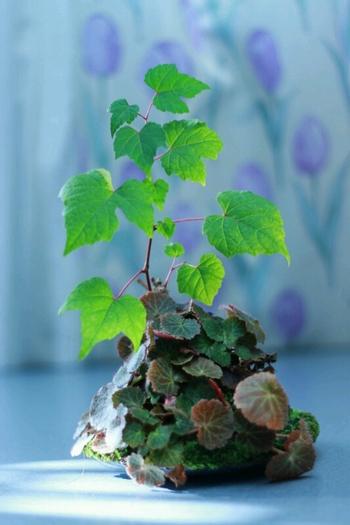 苔玉の寿命は2~3年ほどだとか。その後は、苔玉を作り替えたり、盆栽などにして楽しむこともできるそうです。