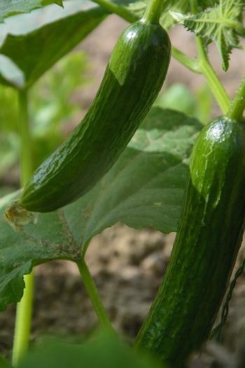 栄養価にはあまり特徴がないと言われるきゅうりですが、ナトリウム(塩分)を排泄するカリウムをたくさん含んでいたり、身体を冷やす働きがあるなど、暑い夏には欠かせない食材です。生で食べるのはもちろん、炒めものにも使えます。