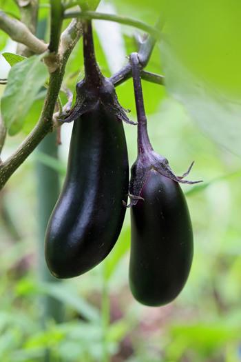 『茄子紺』という色名があるほど馴染み深い茄子の紫紺色は、ナスニンというポリフェノールの一種です。強い抗酸化力があり、コレステロールの吸収を抑える作用も期待できると言われています。また身体を冷やす効果もあるので、暑い夏にはぴったりの食材です。