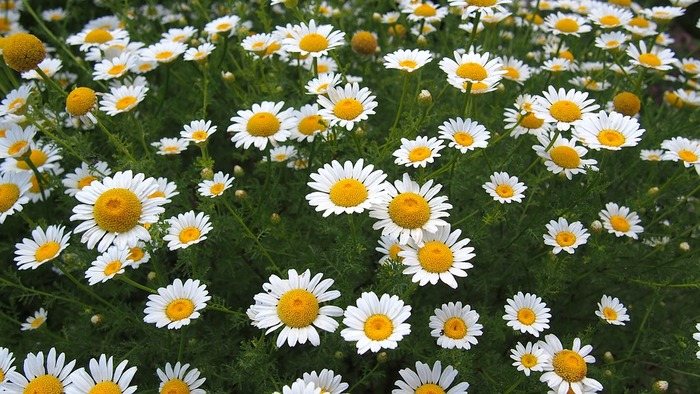 カモミールも香りのよいハーブ。リンゴのような甘酸っぱい香りがします。お茶としても楽しめますが、小さなマーガレットのような花の形はとても可愛らしく、数本まとめて一輪挿しに飾っても素敵です。