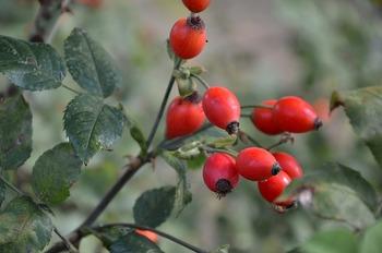 春に淡いピンク色の花を咲かせ、秋には鈴なりに赤い実(ローズヒップ)をつけます。実ものとして飾るのも素敵ですが、実にはビタミンCが豊富に含まれており食・飲料用としても。家族の健康を願う食卓に、一輪さりげなく飾ってみては。