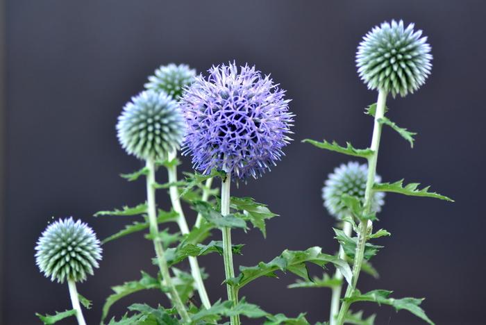 涼し気な紫色が爽やかな夏のお花、ルリタマアザミ。お花は上部から咲いていき、徐々に下がっていきます。まん丸のお花がとてもキュートです。フレッシュな状態を楽しんだら、ドライフラワーにするのもおすすめです。