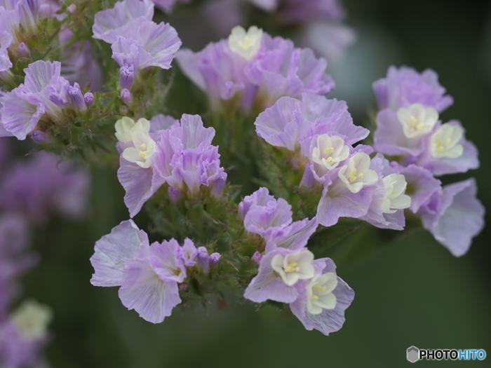 ひらひらの花びらが可愛らしいスターチス。旬の季節は春ですが、今は一年中、安定して流通しています。夏でも長持ちするので、夏場のブーケなどにもよく用いられます。紫色のものが多いのですが、ピンクや黄色、白、アプリコットなどキュートな印象の色合いのものもあります。