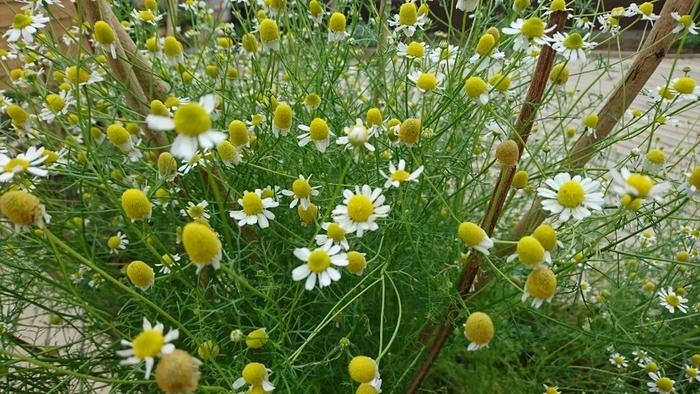 園内のハーブを摘んで、オリジナルのハーブティーを楽しむことも可能。スペアミントやレモンバーベナ、カモミールなど数種類をお好みでブレンドしてみましょう。