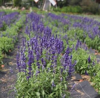 爽やかな香りが魅力のラベンダー。真夏の太陽の下でも元気に咲く花やハーブにパワーをもらえそう。