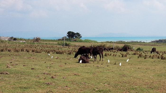 シュガーロード沿いには牧草地も広がっています。牛やヤギなどが放牧されている様子は、のどかさと素朴さが入り混じっており、どこか懐かしい佇まいをしています。