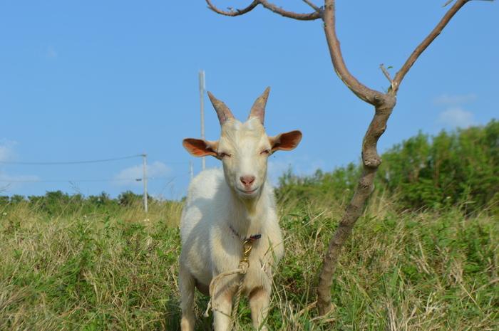 観光業と農業が主な産業となっている小浜島では、集落から少し足を延ばすとサトウキビ畑と牧草地が広がっています。運が良ければ、飼育されているヤギや牛などの家畜と出会えることもあります。
