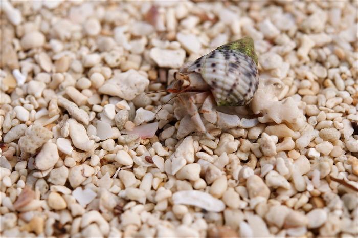 コンドイビーチにたくさん落ちているきれいな巻貝は、ヤドカリの住処になっていることもあります。