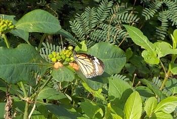 竹富島集落からアイヤル浜へ向かう途中には、蝶の姿をよく見かけることができます。