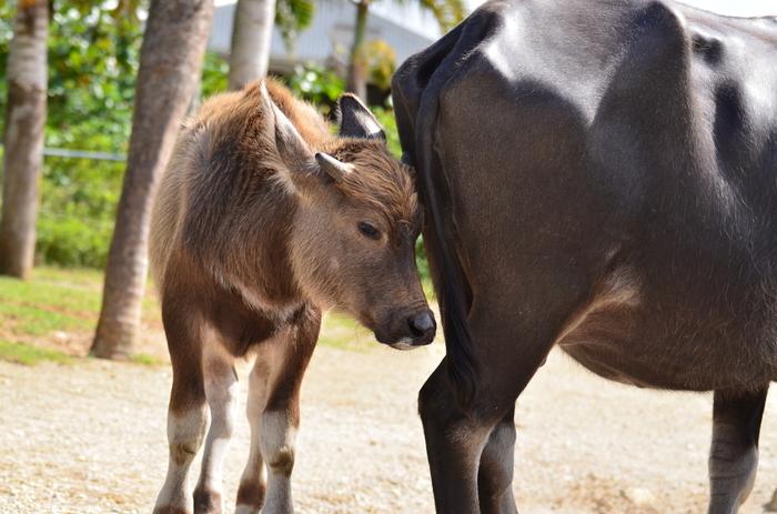 由布島には、水牛車の非番となっている水牛たちが休憩している水牛池があります。ここでは、間近で水牛を見ることができるほか、タイミングが良ければ水牛の仔牛にも会えることができます。