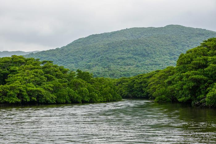 流域一帯には豊かなマングローブ林が生い茂る仲間川は、全長約17.5キロメートルで、西表島を代表する河川です。仲間川のマングローブ林は国の天然記念物に指定されており、その面積は約160ヘクタールにおよび、日本に植生しているマングローブ林の約25%を占めています。