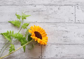 現在、ひまわりは観賞用以外にも、種を炒って食用にしたり、油を採取したりと幅広く活用されています。種が大きく、初心者でも簡単に育てることができるお花のひとつです。