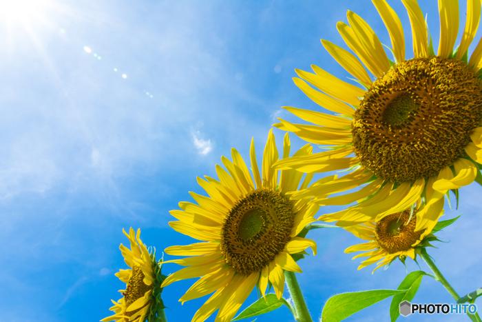 ひまわりは北アメリカ原産のお花で、紀元前から栽培されていたといわれています。1500年頃になって、スペイン人がひまわりの種子を持ち帰り、スペインでも栽培が始まりました。その後、17世紀ごろになって、日本にも伝わったとされています。