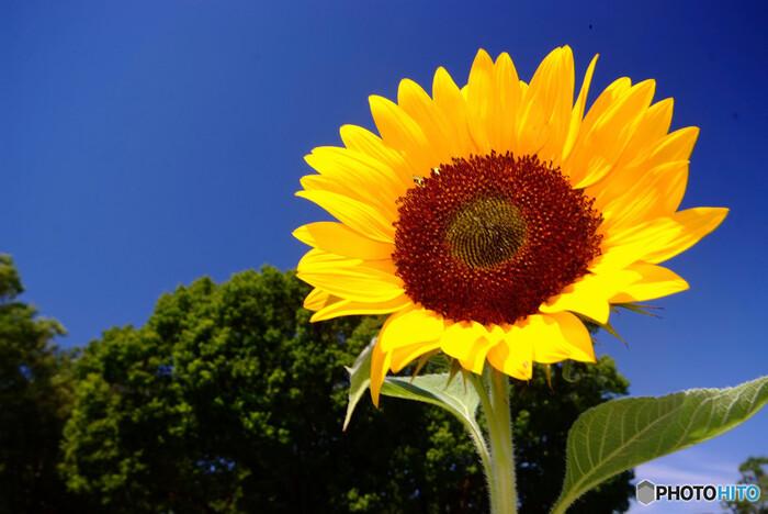 もっともポピュラーな花言葉「あなただけを見つめる」は、ひまわりが生長途中にお日様の方を向くことから生まれた花言葉です。ひまわりはいつでも太陽を追いかけているようなイメージがありますが、それは花が完全に開ききるまでのことで、その後は東を向いたまま、動かなくなります。ちょっぴり意外な感じですね。
